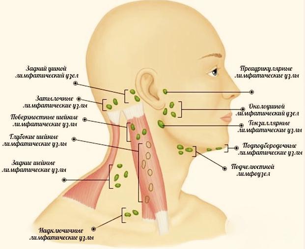 Расположение узлов и сосудов на лице